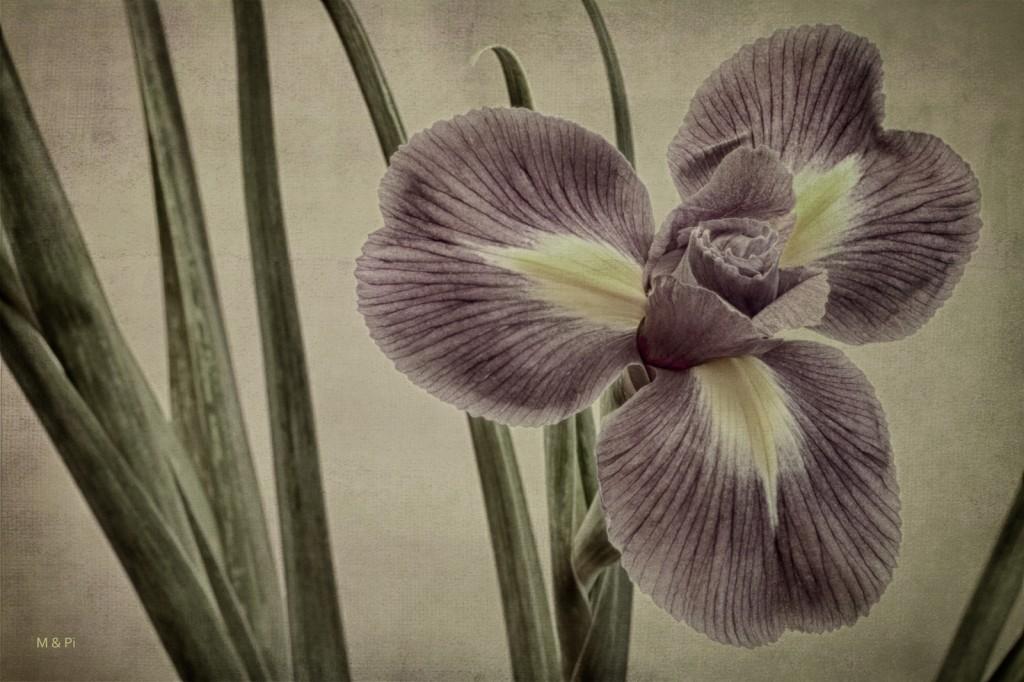 Esencia de Iris