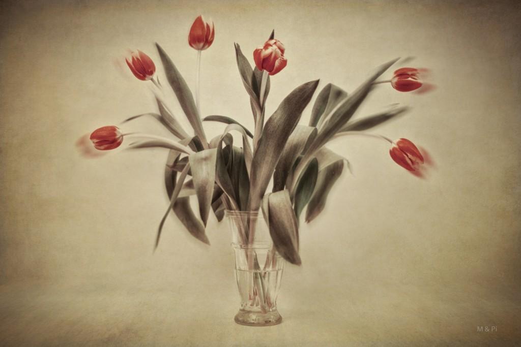 Tulipanes al viento