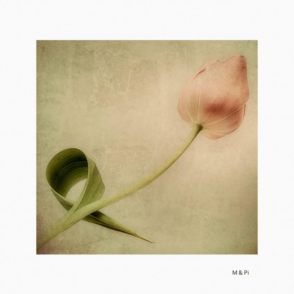 Olor a Tulipán
